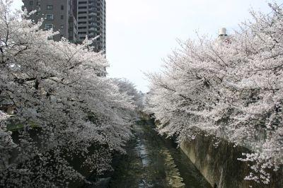 早稲田・神田川の桜